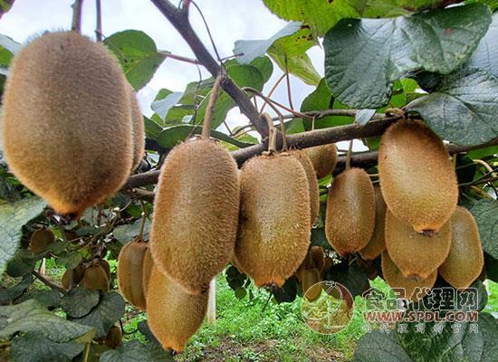 西贝哥猕猴桃价格是多少