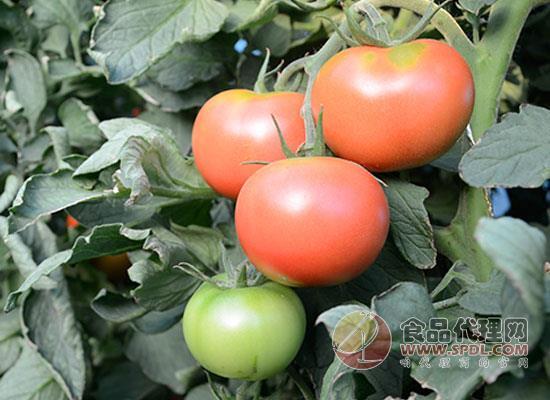 大漠昭君西紅柿價格是多少