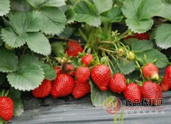 冻了的草莓解冻还能吃吗