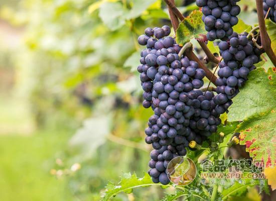 葡萄也疯狂,葡萄藤听音乐防止虫害更健康
