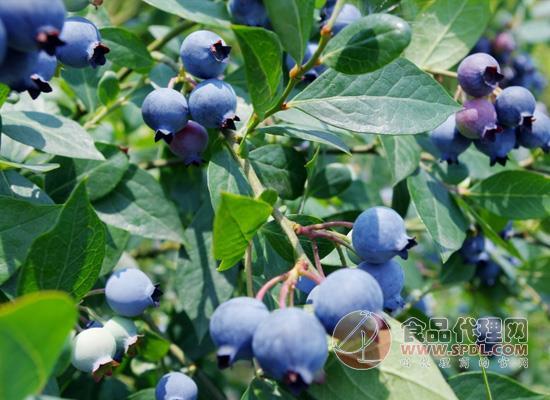 蓝莓怎么吃比较好?先了解一下蓝莓的功效吧!