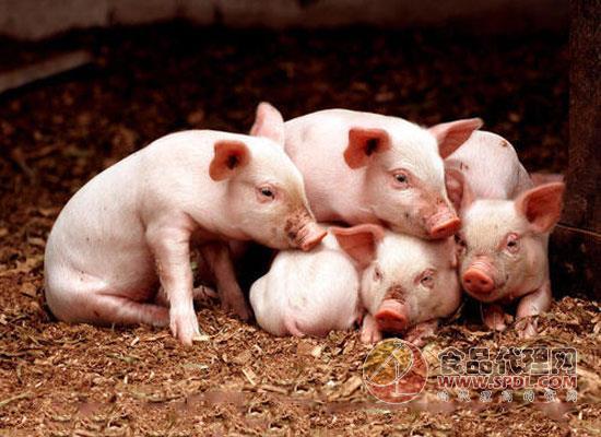 日本猪瘟疫情快速蔓延,农林水产省暂不使用猪瘟疫苗
