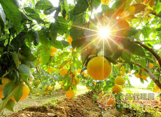 葡萄柚皮薄多汁很诱人,葡萄柚的功效与作用你了解吗?