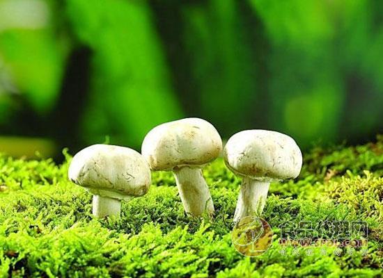 吃蘑菇会延缓智力衰退?这份研究报告告诉你答案