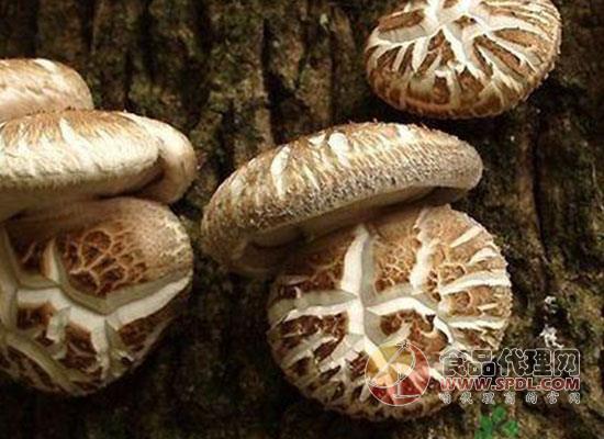花菇和香菇的区别有哪些? 三招让你快速分辨它们