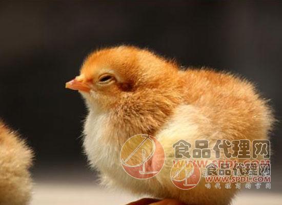 轉基因雞或可阻止禽流感的傳播