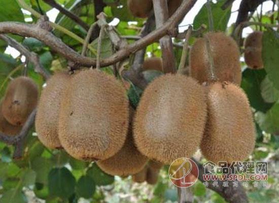 猕猴桃买回家怎么保存,没熟的猕猴桃怎么放