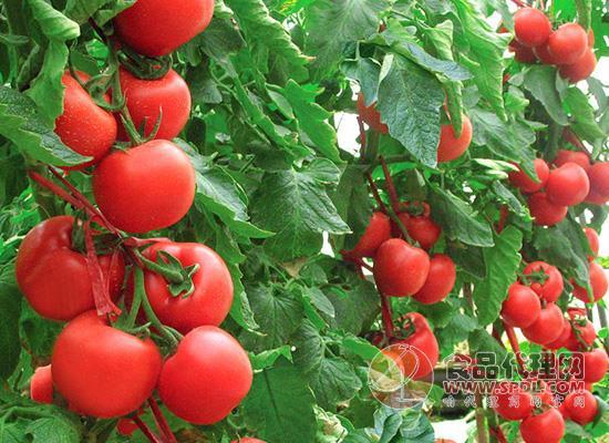 青色番茄到底能不能吃,空腹吃番茄好吗