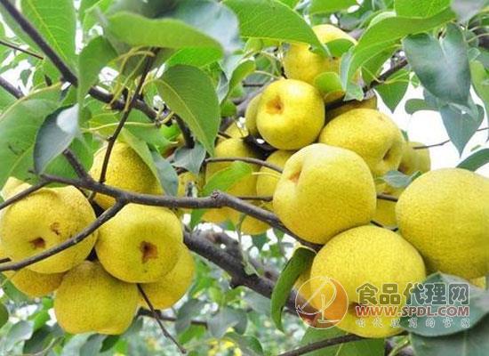 早晨可以空腹吃梨子嗎,梨子什么時候吃比較好