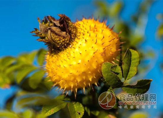 贵州刺梨系列标准发布,创建刺梨产业发展新模式