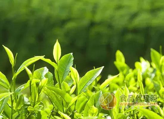 如何辨识中国的传统茶类,快来一起学习茶知识