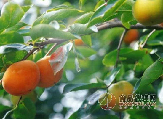 柿子热量高吗,适量食用很关键