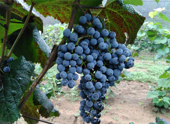 山葡萄的特点决定紫隆山葡萄酒厂的发展前景