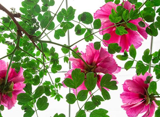 洛阳有万紫千红牡丹花,伊例家有万株千年牡丹树