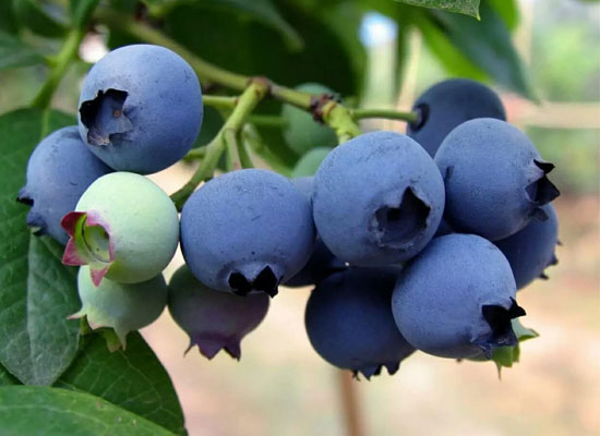 为什么说吃蓝莓有助于健康?乾润食品告诉您
